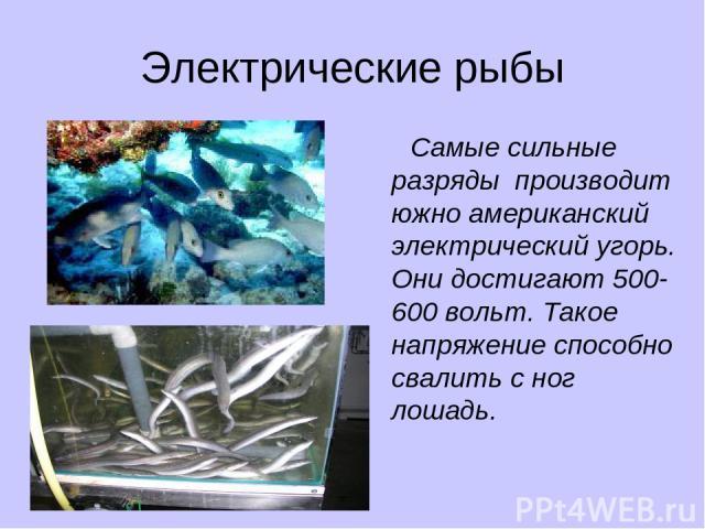 Электрические рыбы Самые сильные разряды производит южно американский электрический угорь. Они достигают 500-600 вольт. Такое напряжение способно свалить с ног лошадь.