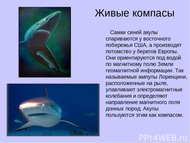 Живые компасы Самки синей акулы спариваются у восточного побережья США, а производят потомство у берегов Европы. Они ориентируются под водой по магнитному полю Земли геомагнитной информации. Так называемые ампулы Лоренцини, расположенные на рыле, ул…