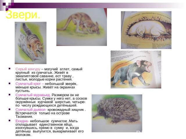 Звери. Серый кенгуру – могучий атлет, самый крупный из сумчатых. Живёт в эвкалиптовой саванне, ест траву , листья, молодые корни растения. Сумчатый крот – небольшой зверёк, меньше крысы. Живёт на окраинах пустынь. Сумчатый муравьед. Размером он не б…
