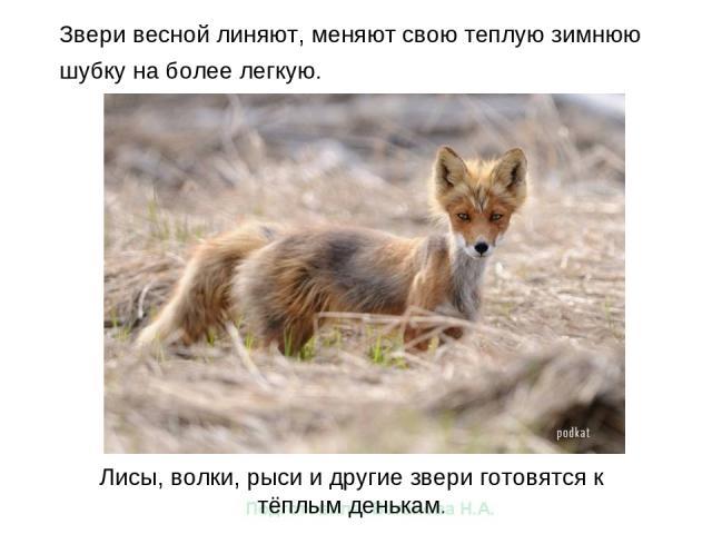 Звери весной линяют, меняют свою теплую зимнюю шубку на более легкую. Лисы, волки, рыси и другие звери готовятся к тёплым денькам.