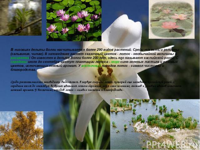 ля до сентября цветут плантации лотоса - море сине-зеленых листьев и розовых цветов, источающих нежный аромат. У восточных народов лотос - символ чистоты и благородства. В низовьях дельты Волги насчитывается более 290 видов растений. Среди них есть …