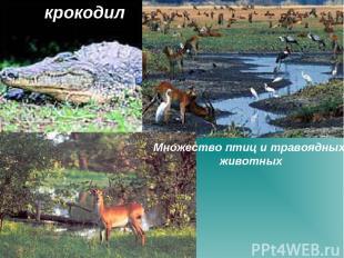 крокодил Множество птиц и травоядных животных