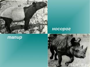 тапир носорог