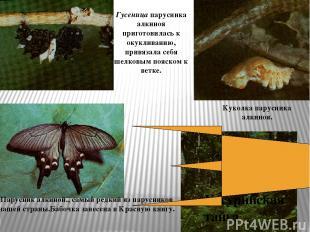 Уссурийская тайга Парусник алкиной., самый редкий из парусников нашей страны.Баб