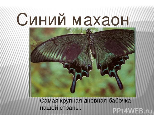Самая крупная дневная бабочка нашей страны. Синий махаон