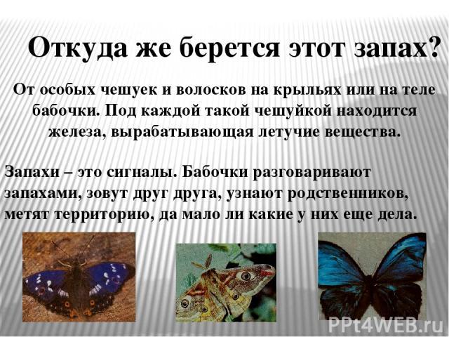 Откуда же берется этот запах? От особых чешуек и волосков на крыльях или на теле бабочки. Под каждой такой чешуйкой находится железа, вырабатывающая летучие вещества. Запахи – это сигналы. Бабочки разговаривают запахами, зовут друг друга, узнают род…