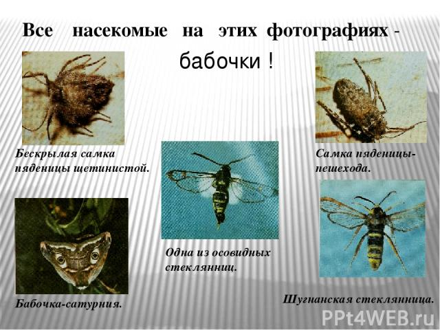 Все насекомые на этих фотографиях - бабочки ! Бескрылая самка пяденицы щетинистой. Одна из осовидных стеклянниц. Самка пяденицы-пешехода. Шугнанская стеклянница. Бабочка-сатурния.