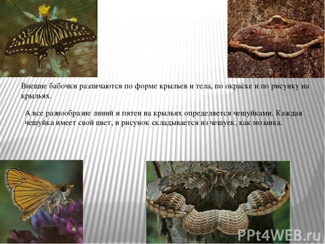 Внешне бабочки различаются по форме крыльев и тела, по окраске и по рисунку на крыльях. А все разнообразие линий и пятен на крыльях определяется чешуйками. Каждая чешуйка имеет свой цвет, и рисунок складывается из чешуек, как мозаика.