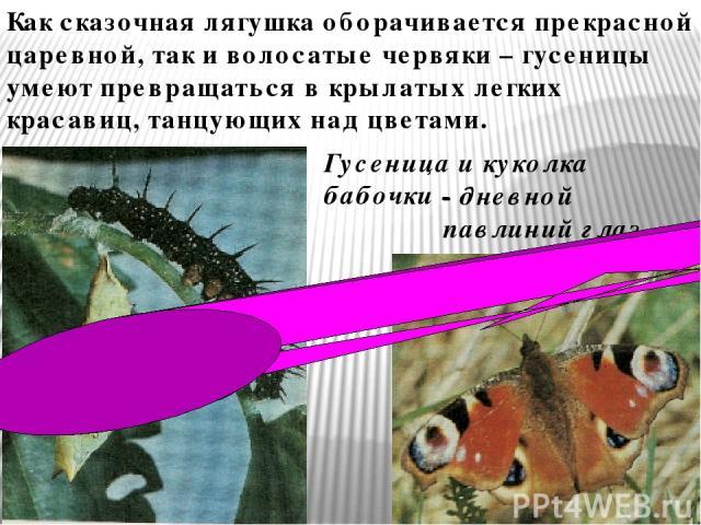 Как сказочная лягушка оборачивается прекрасной царевной, так и волосатые червяки – гусеницы умеют превращаться в крылатых легких красавиц, танцующих над цветами. Гусеница и куколка бабочки - - дневной павлиний глаз.