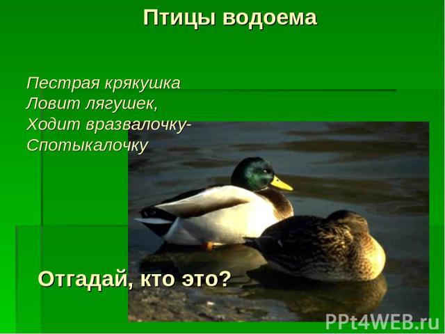 Птицы водоема Отгадай, кто это? Пестрая крякушка Ловит лягушек, Ходит вразвалочку- Спотыкалочку