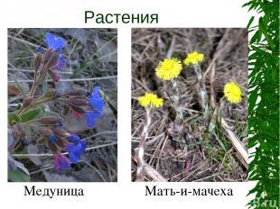 Растения Медуница Мать-и-мачеха