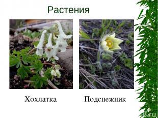 Растения Хохлатка Подснежник