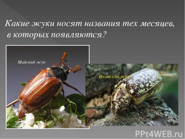 Какие жуки носят названия тех месяцев, в которых появляются? Майский жук Июльский жук