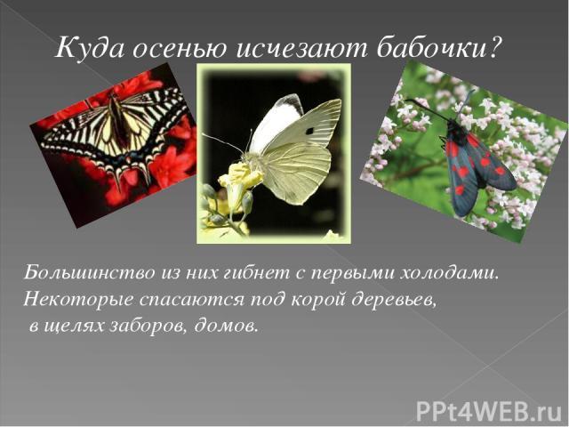 Куда осенью исчезают бабочки? Большинство из них гибнет с первыми холодами. Некоторые спасаются под корой деревьев, в щелях заборов, домов.