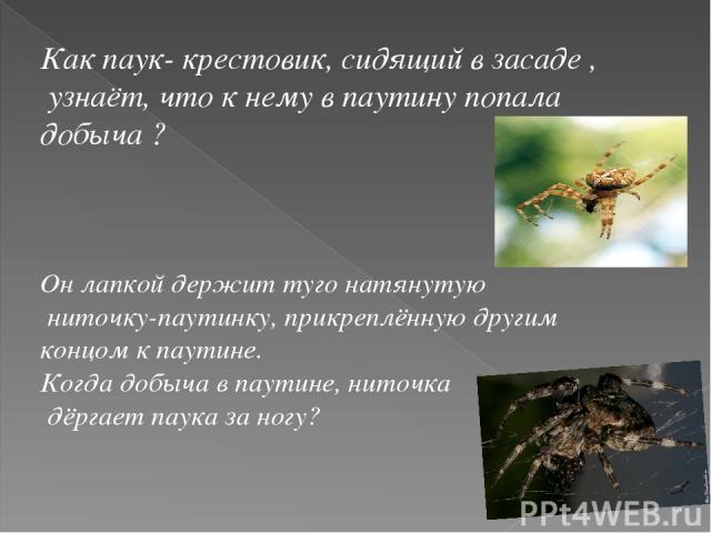 Как паук- крестовик, сидящий в засаде , узнаёт, что к нему в паутину попала добыча ? Он лапкой держит туго натянутую ниточку-паутинку, прикреплённую другим концом к паутине. Когда добыча в паутине, ниточка дёргает паука за ногу?