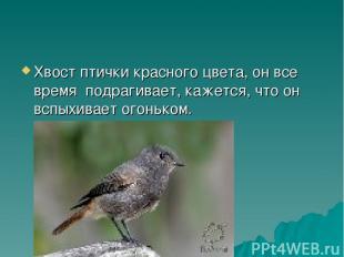 Хвост птички красного цвета, он все время подрагивает, кажется, что он вспыхивае