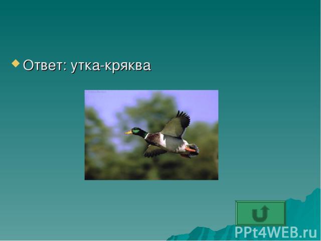 Ответ: утка-кряква