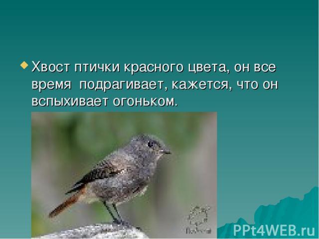 Хвост птички красного цвета, он все время подрагивает, кажется, что он вспыхивает огоньком.