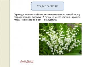 УГАДАЙ РАСТЕНИЕ Гирлянды маленьких белых колокольчиков висят весной между острок