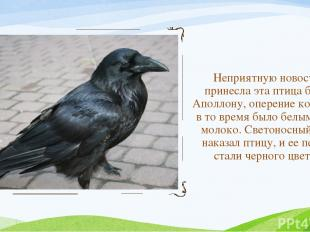 Неприятную новость принесла эта птица богу Аполлону, оперение которой в то время