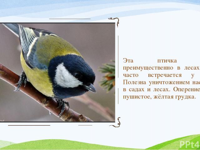 Эта птичка обитает преимущественно в лесах. Зимой часто встречается у жилья. Полезна уничтожением насекомых в садах и лесах. Оперение густое, пушистое, жёлтая грудка.
