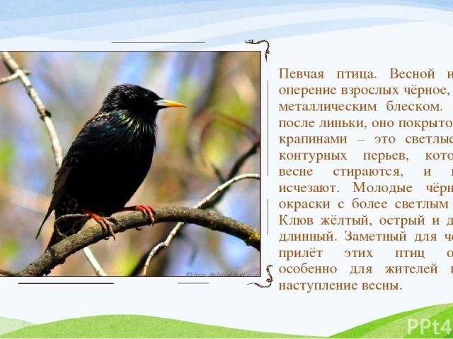 Певчая птица. Весной и летом оперение взрослых чёрное, с ярким металлическим блеском. Осенью, после линьки, оно покрыто белыми крапинами – это светлые концы контурных перьев, которые к весне стираются, и крапины исчезают. Молодые чёрно-бурой окраск…