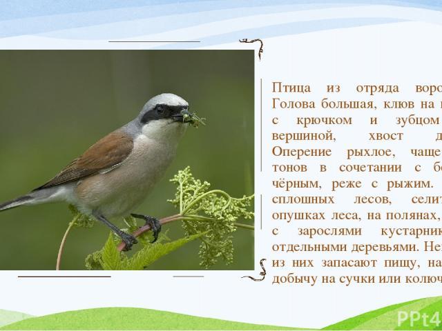 Птица из отряда воробьиных. Голова большая, клюв на вершине с крючком и зубцом перед вершиной, хвост длинный. Оперение рыхлое, чаще серых тонов в сочетании с белым и чёрным, реже с рыжим. Избегая сплошных лесов, селится на опушках леса, на полянах, …
