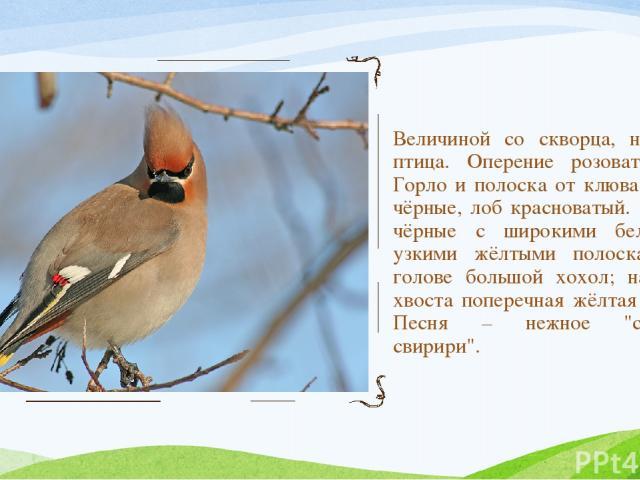 Величиной со скворца, нарядная птица. Оперение розовато-серое. Горло и полоска от клюва к глазу чёрные, лоб красноватый. Крылья чёрные с широкими белыми и узкими жёлтыми полосками; на голове большой хохол; на конце хвоста поперечная жёлтая полоса. …