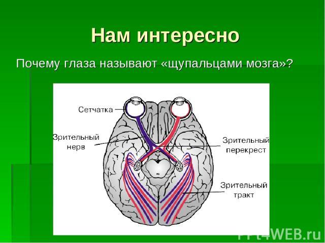 Нам интересно Почему глаза называют «щупальцами мозга»?