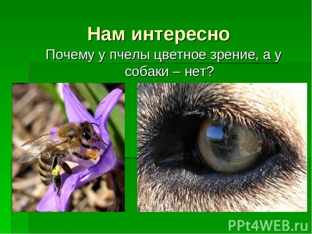 Нам интересно Почему у пчелы цветное зрение, а у собаки – нет?