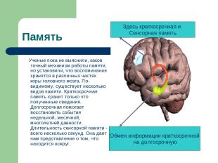 Память Ученые пока не выяснили, каков точный механизм работы памяти, но установи
