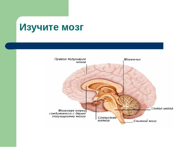 Изучите мозг