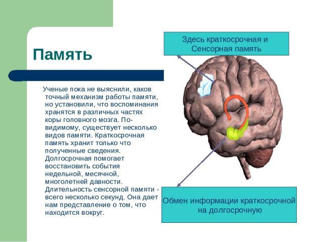 Память Ученые пока не выяснили, каков точный механизм работы памяти, но установили, что воспоминания хранятся в различных частях коры головного мозга. По-видимому, существует несколько видов памяти. Краткосрочная память хранит только что полученные …