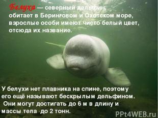 Белуха — северный дельфин, обитает в Беринговом и Охотском море, взрослые особи