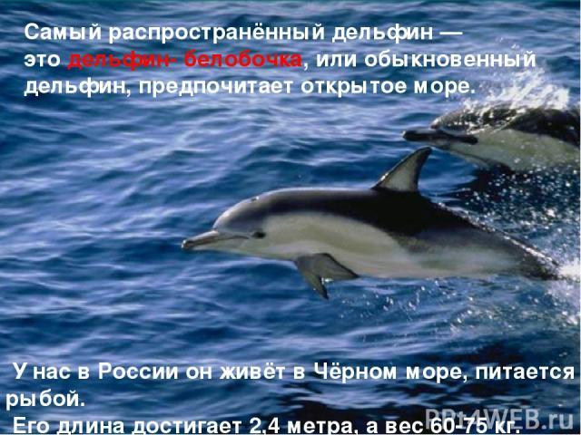 Самый распространённый дельфин — это дельфин- белобочка, или обыкновенный дельфин, предпочитает открытое море. У нас в России он живёт в Чёрном море, питается рыбой. Его длина достигает 2,4 метра, а вес 60-75 кг.