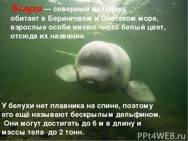 Белуха — северный дельфин, обитает в Беринговом и Охотском море, взрослые особи имеют чисто белый цвет, отсюда их название. У белухи нет плавника на спине, поэтому его ещё называют бескрылым дельфином. Они могут достигать до 6 м в длину и массы тела…