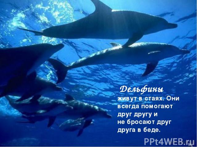 Дельфины живут в стаях. Они всегда помогают друг другу и не бросают друг друга в беде.