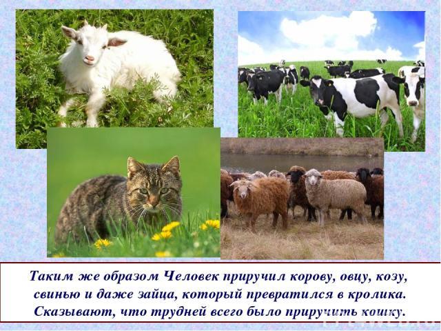 Таким же образом Человек приручил корову, овцу, козу, свинью и даже зайца, который превратился в кролика. Сказывают, что трудней всего было приручить кошку.