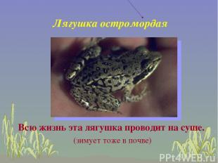 Лягушка остромордая Всю жизнь эта лягушка проводит на суше. (зимует тоже в почве