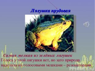 Лягушка прудовая Голоса у этой лягушки нет, но зато природа наделила их голосовы