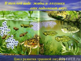 В теплой воде жабы и лягушки откладывают икру. Цикл развития травяной лягушки