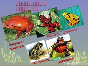 ИНТЕРЕСНЫЕ ЛЯГУШКИ Лягушка-помидор ЖЕРЛЯНКА ЧЕСНОЧНИЦА Лягушка - древолаз