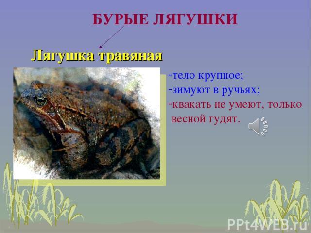 Лягушка травяная БУРЫЕ ЛЯГУШКИ тело крупное; зимуют в ручьях; квакать не умеют, только весной гудят.