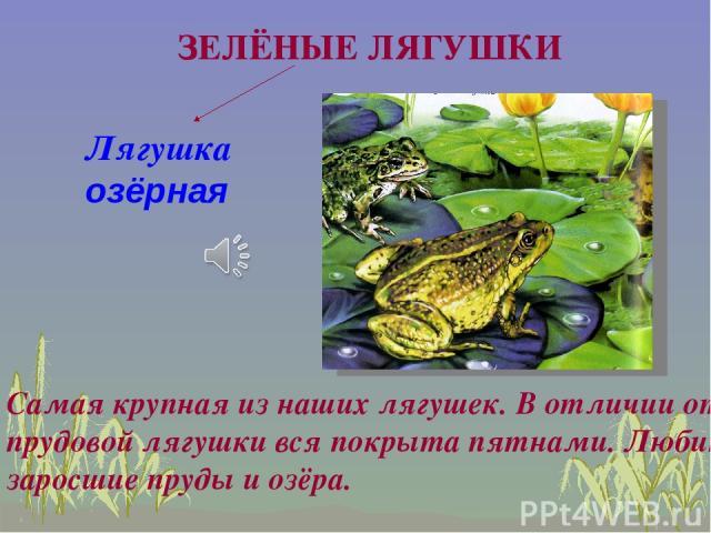 Лягушка озёрная Самая крупная из наших лягушек. В отличии от прудовой лягушки вся покрыта пятнами. Любит заросшие пруды и озёра. ЗЕЛЁНЫЕ ЛЯГУШКИ
