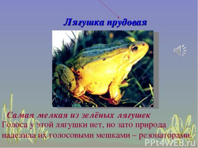 Лягушка прудовая Голоса у этой лягушки нет, но зато природа наделила их голосовыми мешками – резонаторами. Самая мелкая из зелёных лягушек