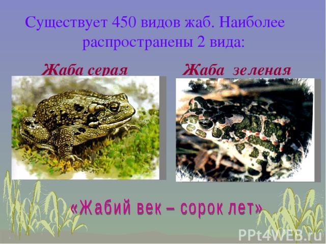 Жаба зеленая Жаба серая Существует 450 видов жаб. Наиболее распространены 2 вида: