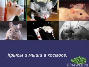 Крысы и мыши в космосе.