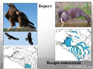 Беркут Выдра кавказская