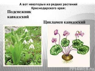 А вот некоторые из редких растений Краснодарского края: Подснежник кавказский Ци