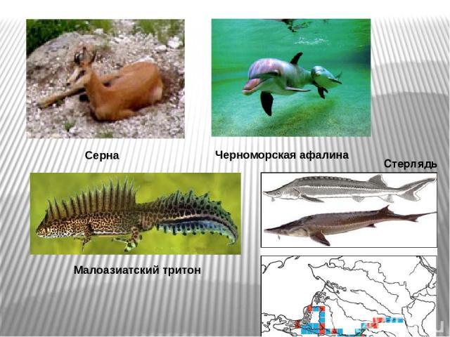 Стерлядь Серна Черноморская афалина Малоазиатский тритон